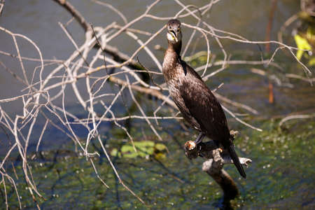 carbo: Phalacrocorax carbo in the natural environment, the Danube Delta Romania Stock Photo