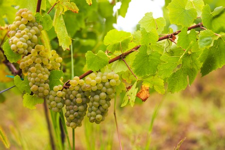 white grapes in the vineyard on a farm Stock Photo