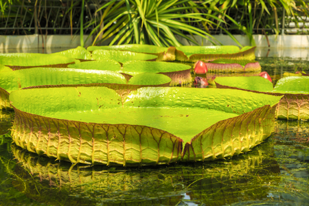 amazonian: Giant leaves of Amazonian water lilies