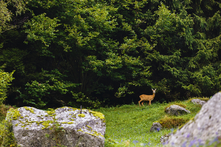 nice copy deer at a forest edge