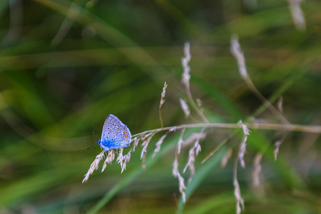 Blue butterfly sits on a blade of grass Stock Photo