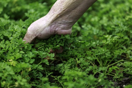 hands of grandparents picking parsley in the garden