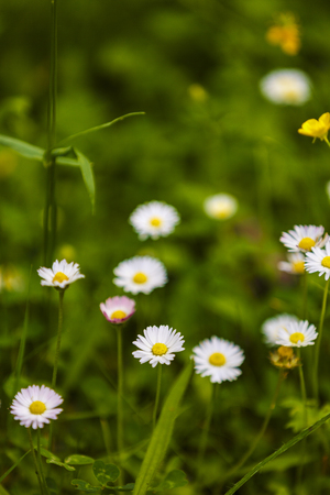 Summer floral background. Out of focus blurred chamomiles
