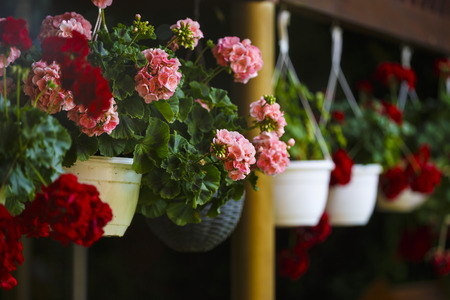 potted geraniums hanging from the terrace Stock Photo
