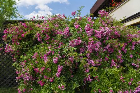 a large bush in the garden rambler