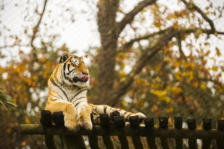 tigresa: Bengal tiger in captivity at the zoo Foto de archivo