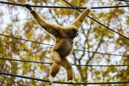 handed: Lar Gibbon, or a white handed gibbon (Hylobates lar) plays on a rope in a zoo.