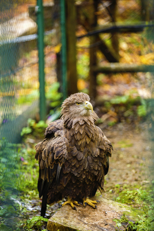 majestic golden eagle in captivity at the zoo