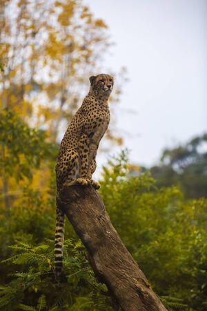 acinonyx: beautiful cheetah (Acinonyx jubatus) in her natural habitat