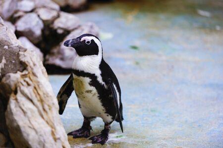 flippers: Pingüinos africanos, Spheniscus demersus, cautivo