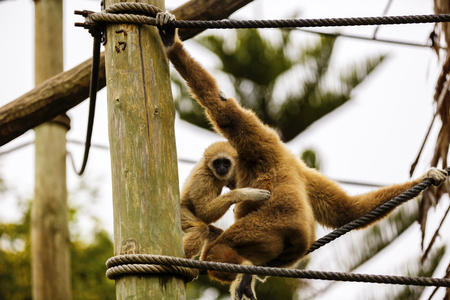 Lar Gibbon, or a white handed gibbon (Hylobates lar) plays on a rope in a zoo.