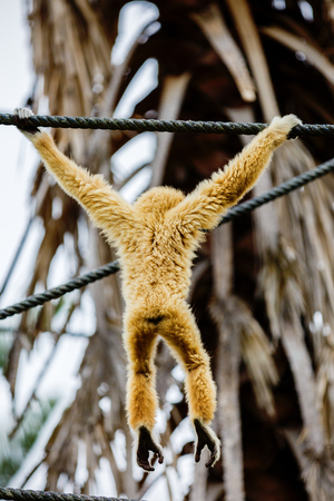 biped: Lar Gibbon, or a white handed gibbon (Hylobates lar) plays on a rope in a zoo.