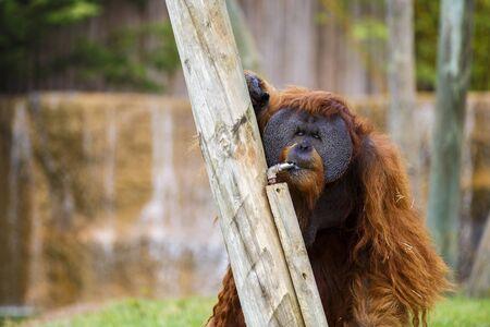 utang: Orangutan in zoo. Stock Photo