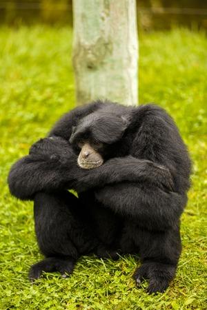 siamang: expressive monkey in captivity at the zoo