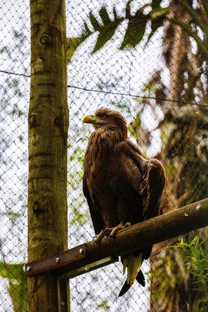 aguila real: majestuosa águila real en cautiverio en el zoológico
