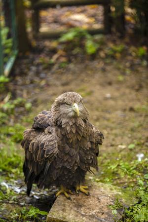 aigle royal: aigle royal majestueux en captivité au zoo Banque d'images
