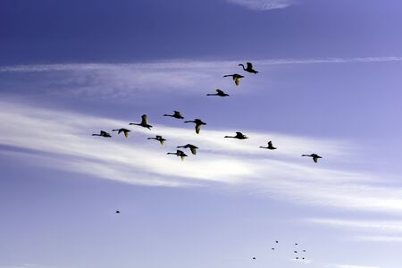 Beautiful view with a flock of swans flying against the blue sky Stock Photo
