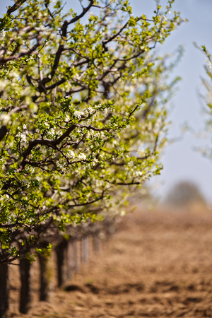 arando: landscape with a beautiful orchard of plum trees in bloom, spring