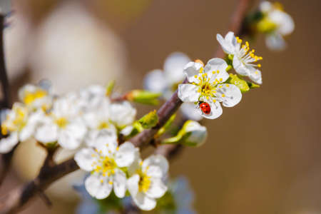 Ladybug, which gets pollen from flower plum