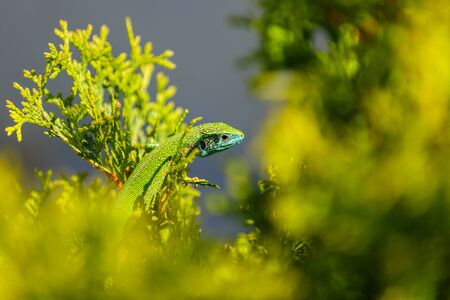 The lizard camouflaged in nature Stock Photo