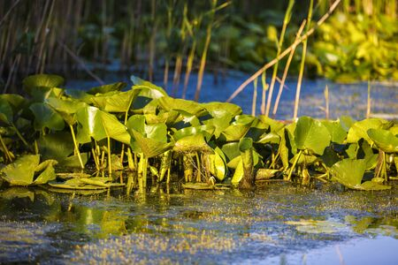 danubian: Beautiful water lilies in the Danube Delta