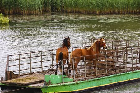 captives: Wild horses from the captive delta delta and transported by ferry to water