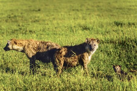 hienas: Spotted hyena, (Crocuta crocuta), standing in green grass looking back at camera, Masai Mara, Kenya, Africa