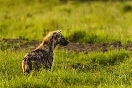 Spotted hyena, (Crocuta crocuta), standing in green grass looking back at camera, Masai Mara, Kenya, Africa