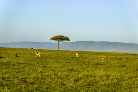 A beautiful Topi antelope on the green grassland Stock Photo
