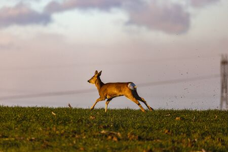 the deer on a field runs and jumps Stock Photo