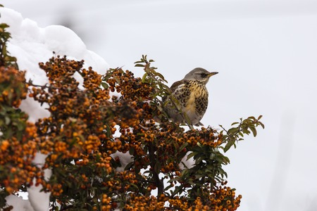 winter thrush stands on a bush in the garden