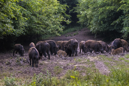 Feral pigs, sow and piglets rooting for food Banque d'images