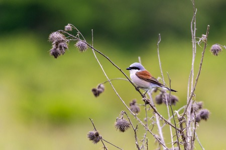 Red backed shrike (Lanius Collurio) perched on a twig in a grass field Фото со стока