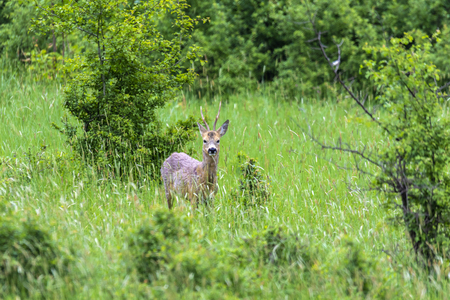 Roe buck by the edge of the forest, looking cautiously around