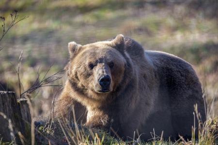European brown bear resting on the ground (Ursus arctos) 免版税图像