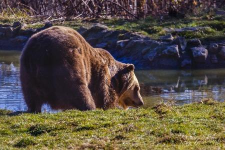 European brown bear (Ursus arctos arctos) enjoying a bath. Common brown bear swimming. Stock Photo