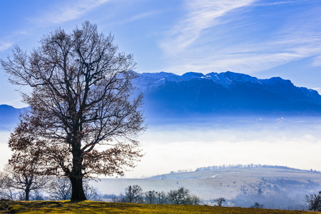 oak with mountain on a background wrapped in foggy sunny day