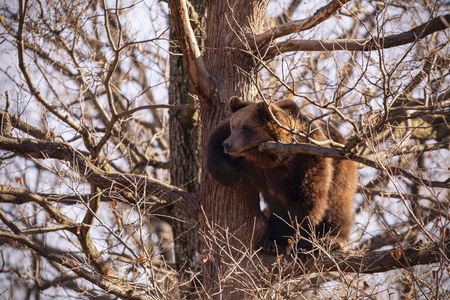 Brown bear,ursus arctos, on a tree in the forest