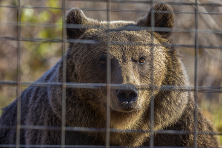portrait with the brown bear at the zoo among the bars Stock Photo