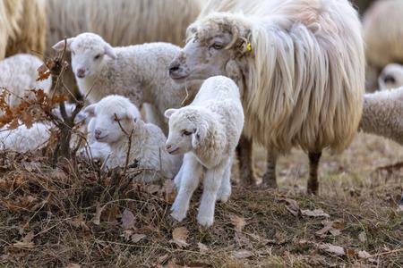 Pecore e agnelli al pascolo Archivio Fotografico