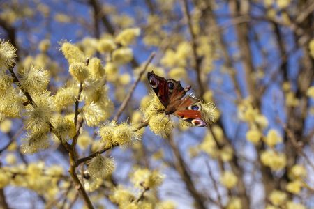 Beautiful willow twigs and colored butterfly in spring at sunrise morning, macro. Amazing elegant artistic image nature in spring, willow flowers and butterfly.