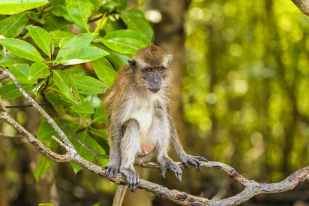 wild monkey at the mangrove of Langkawi, Malaysia