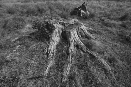 Stump from big removal tree, in meadow. Stockfoto