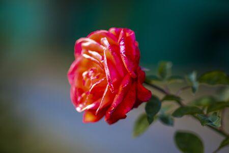 flower of rose in garden, in autumn day