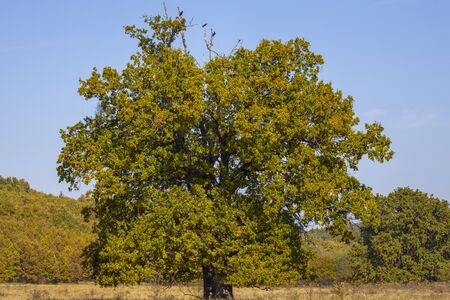 Huge centennial oak tree on a field in the autumn