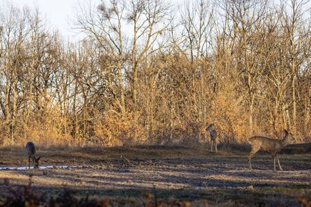 Roe deer group in the oak forest Stock Photo
