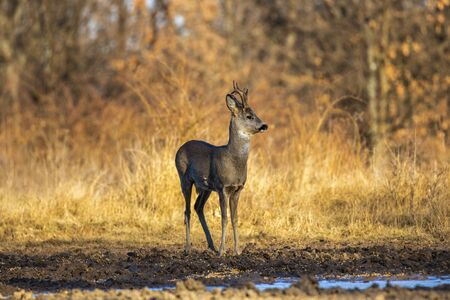 Male roe deer (roebuck) in the forest, early spring time Archivio Fotografico
