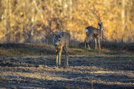 Roe deer group in the oak forest 版權商用圖片