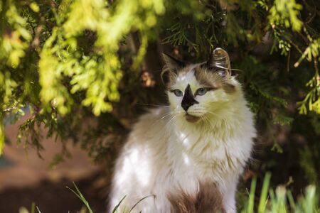 portrait of himalayan persian cat on the green in the spring time.