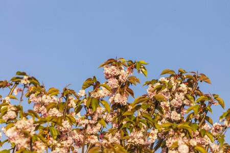 Branch of Prunus Kanzan cherry with pink double flowers and red leaves, close up.